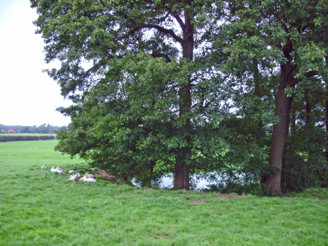 Prestbury, field pond and sheep the North Cheshire Way - geograph.org.uk - 263024