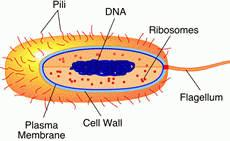Prokaryotes are primitive cells, without a nuc...
