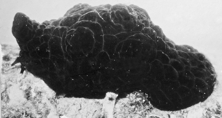 Queensland_State_Archives_1034_Pleurobranch_Mollusc_a_black_sluglike_thing_that_is_really_a_small_shellless_Shellfish_c_1931.png