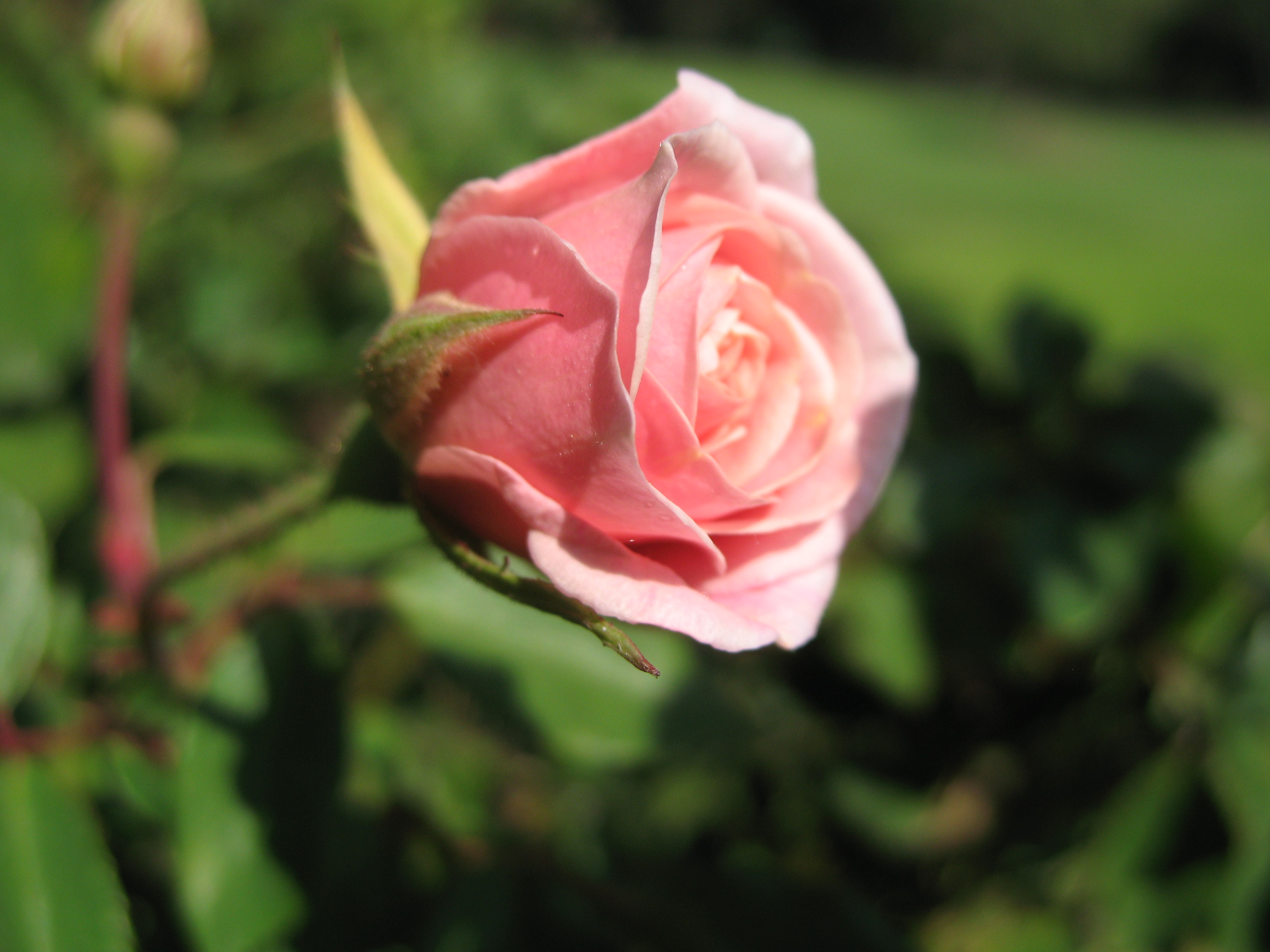 Pink hybrid tea rose: opening bud. Photo taken...