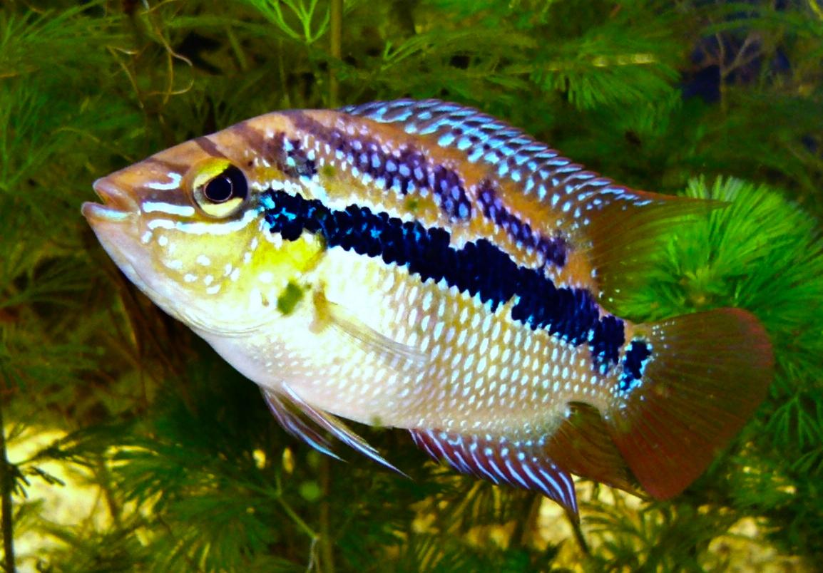 Cultivation of black-striped cichlids