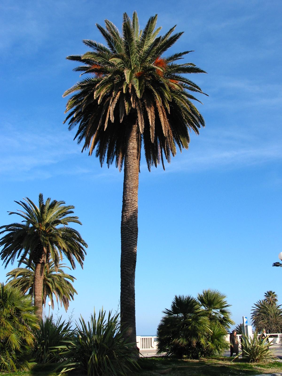 Znalezione obrazy dla zapytania palma