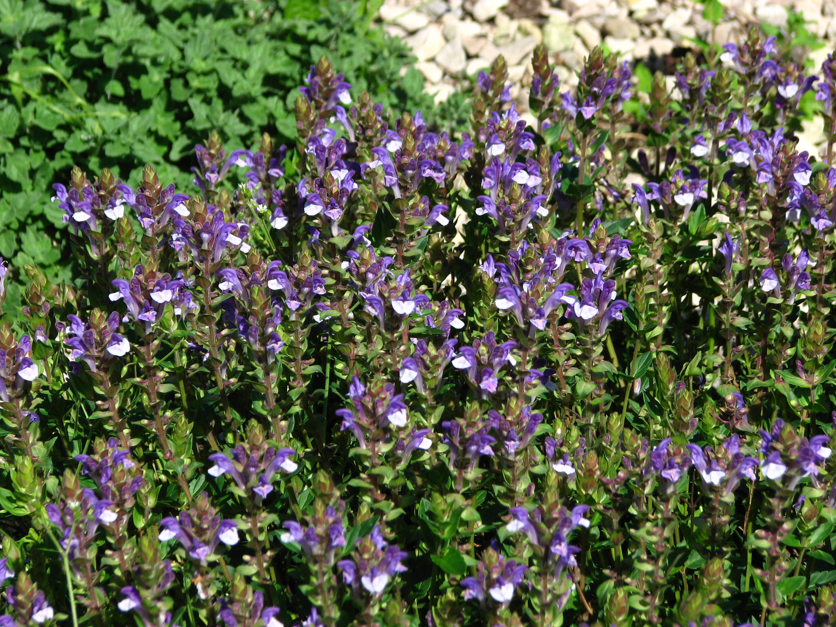 File:Scutellaria baicalensis 01.JPG - Wikimedia Commons: https://commons.wikimedia.org/wiki/File:Scutellaria_baicalensis_01.JPG