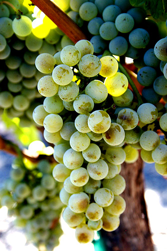 From Author: The Semillon blanc grapes get bro...