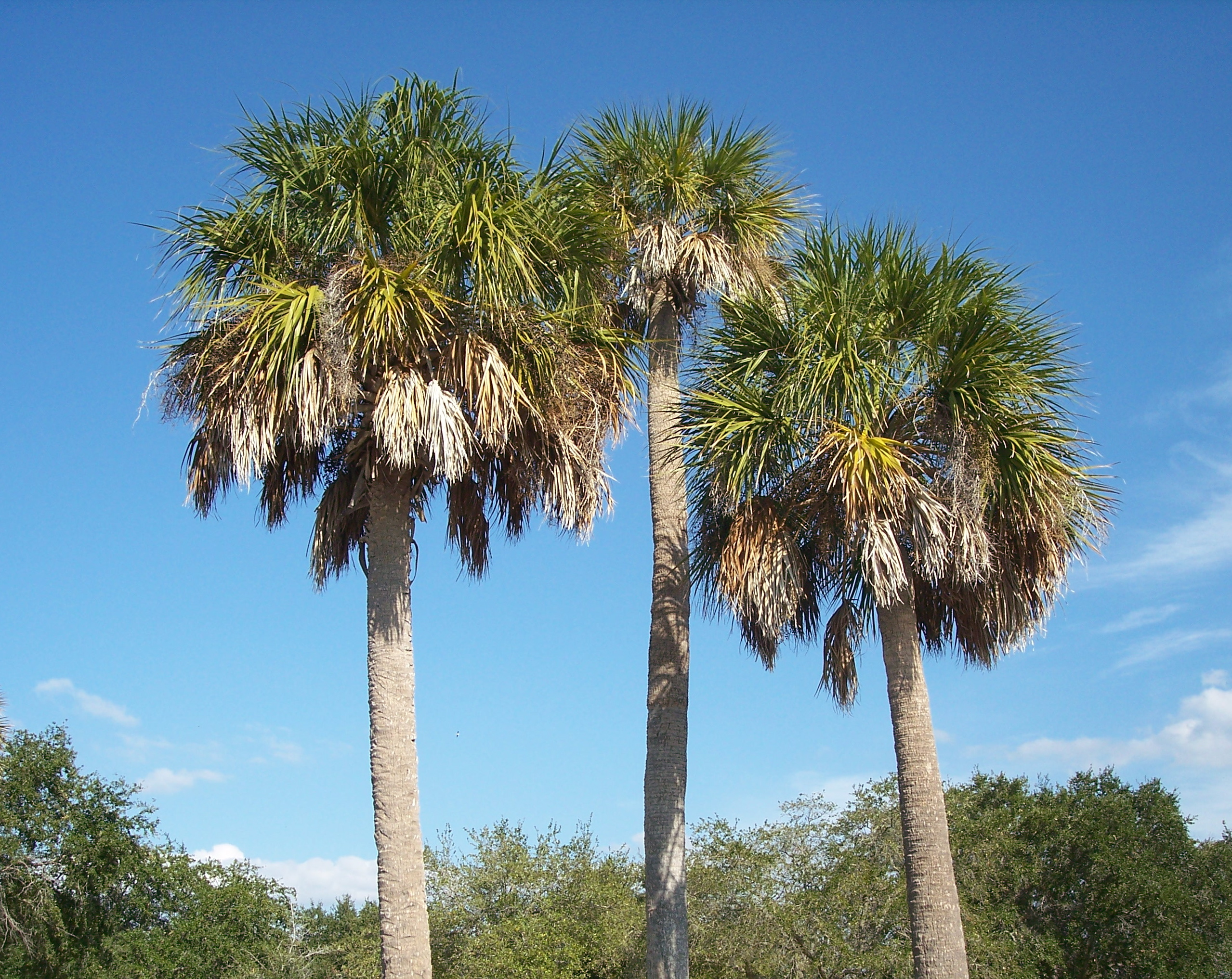 Sabal palmetto - Wikipedia