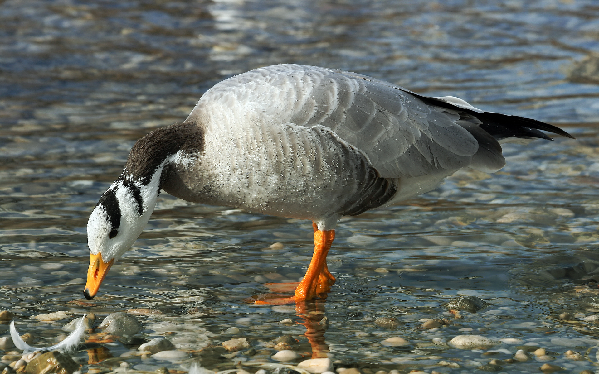 Tso Moriri is reputed to be the only breeding place for the bar-headed goose (Anser Indicus) in India. (Photo: Richard Bartz)
