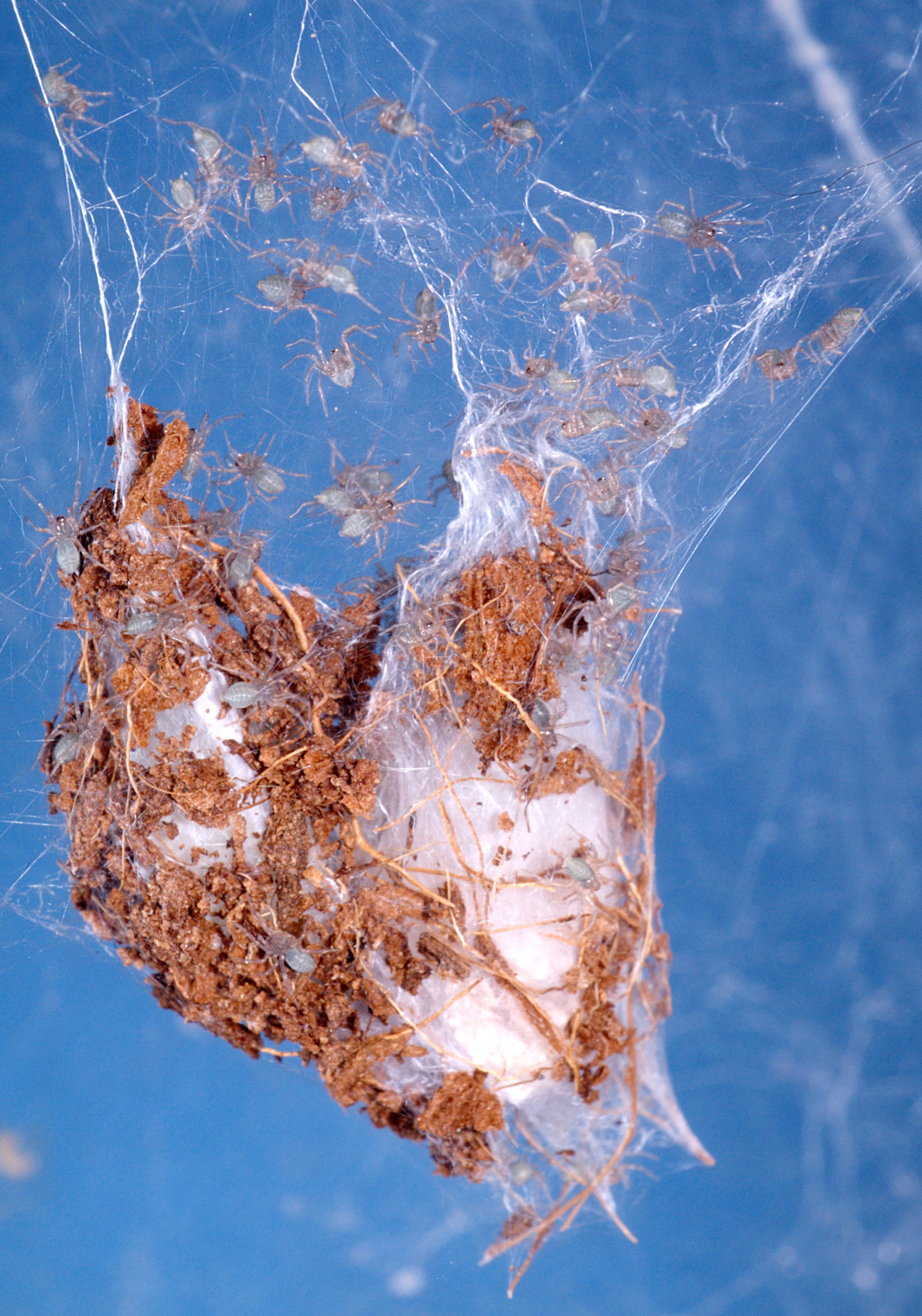 American house spider egg sac - photo#46
