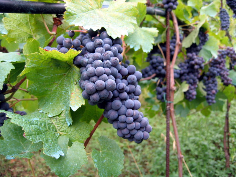 Vineyard in Montone Le nom des fruits en anglais   The names of the fruits in English