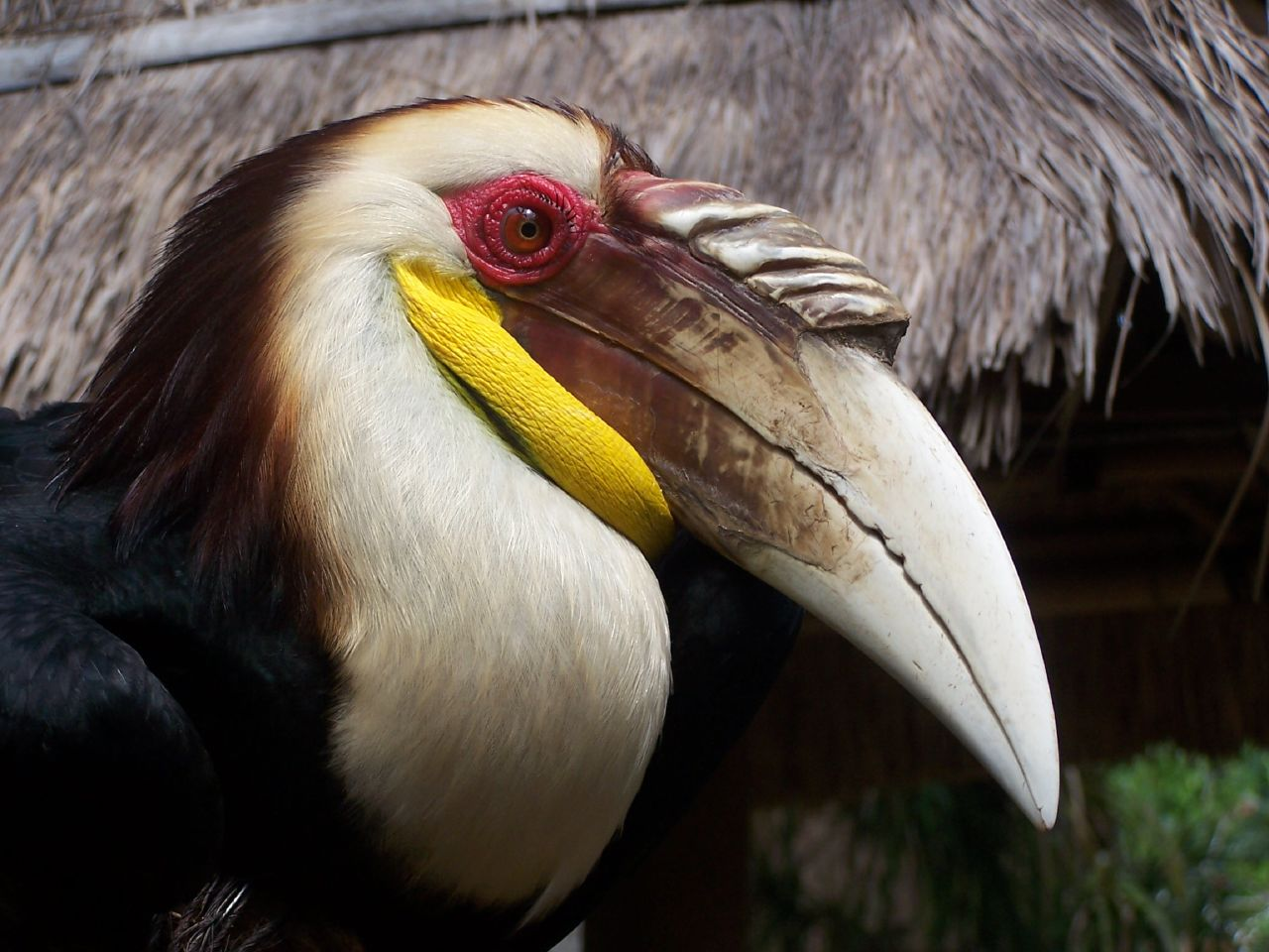 Wreathed Hornbill File:Wreathed H...