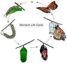 72558efc0 ملف:دورة حياة الفراشات.png - ويكيبيديا، الموسوعة الحرة