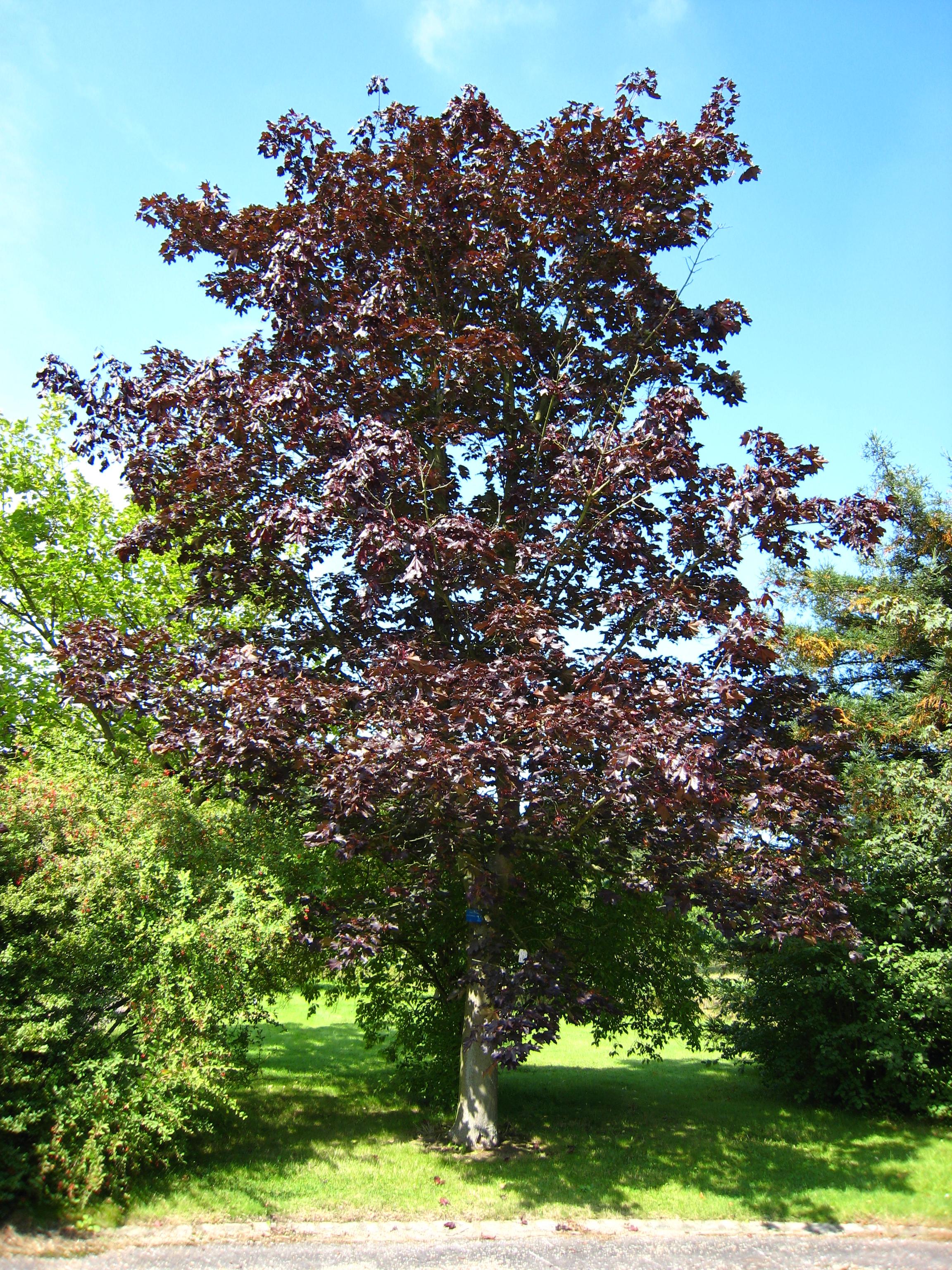 File acer platanoides 39 schwedleri 39 jpg wikimedia commons - Arce platanoide ...