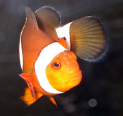 Amphiprion percula, frontal.jpg