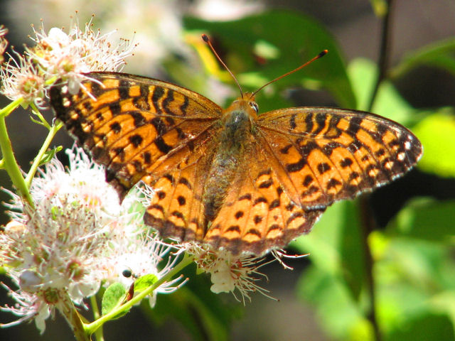 An image of a fritillary, one of the butterflies associated with folklore.
