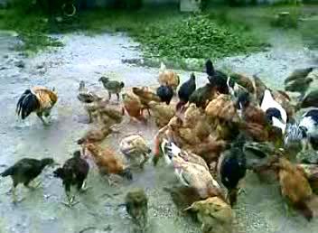 Ayam k 2.JPG