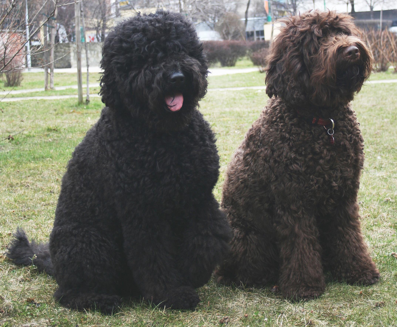 Puffy Dog Breeds