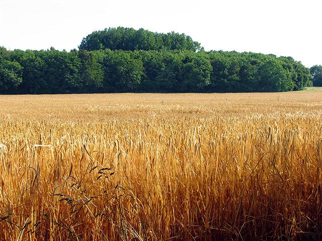 barley fields by nitrok - photo #49