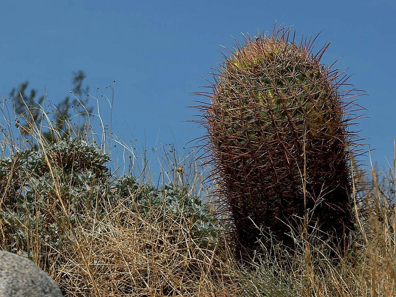 File:Barrel cactus a cactus in Anza Borrego desert cactus