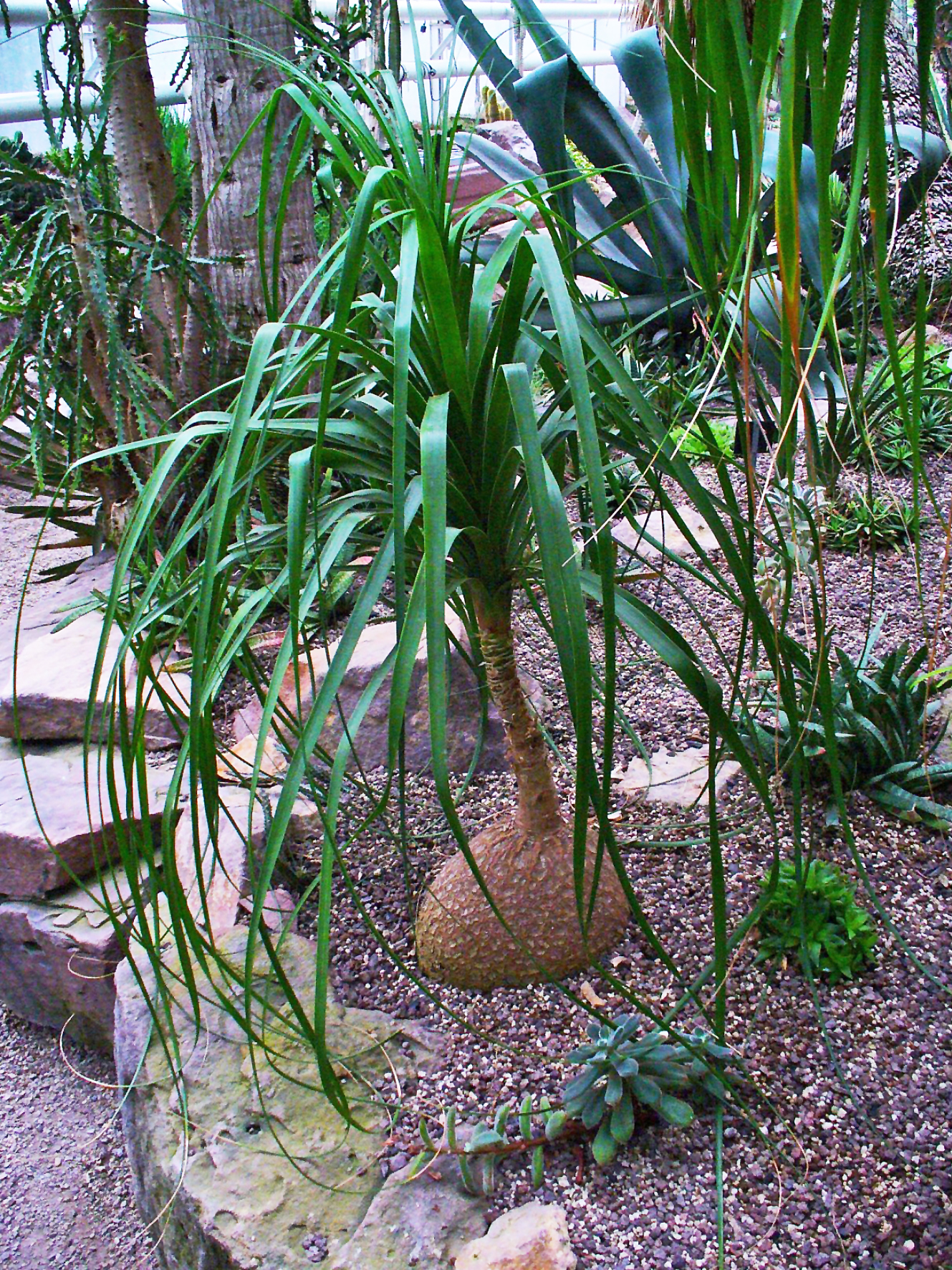 Indoor gardening and houseplants ponytail has thin light for Beaucarnea recurvata