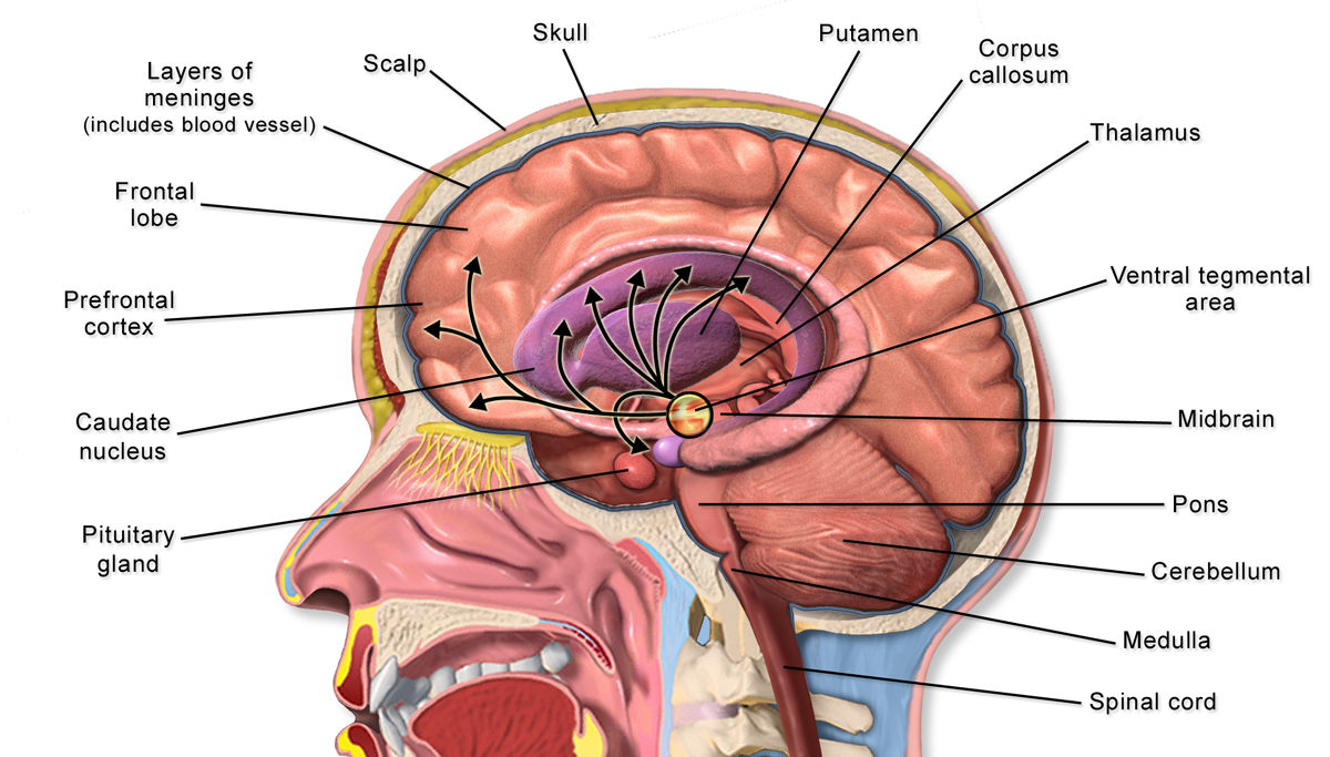 File:Brain Anatomy Striatum.png - Wikimedia Commons