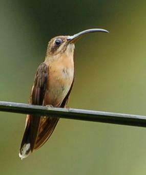 Copper shadow hummingbird