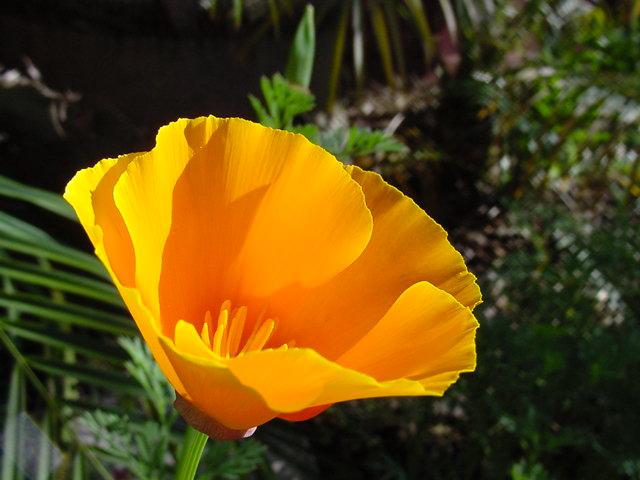 Eschscholzia californica california poppy ck 12 foundation common name california poppy mightylinksfo