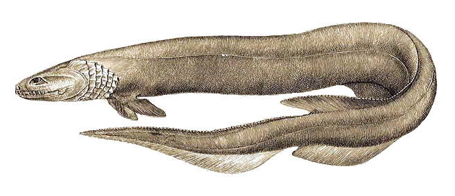 Chlamydoselachus anguineus 3.jpg