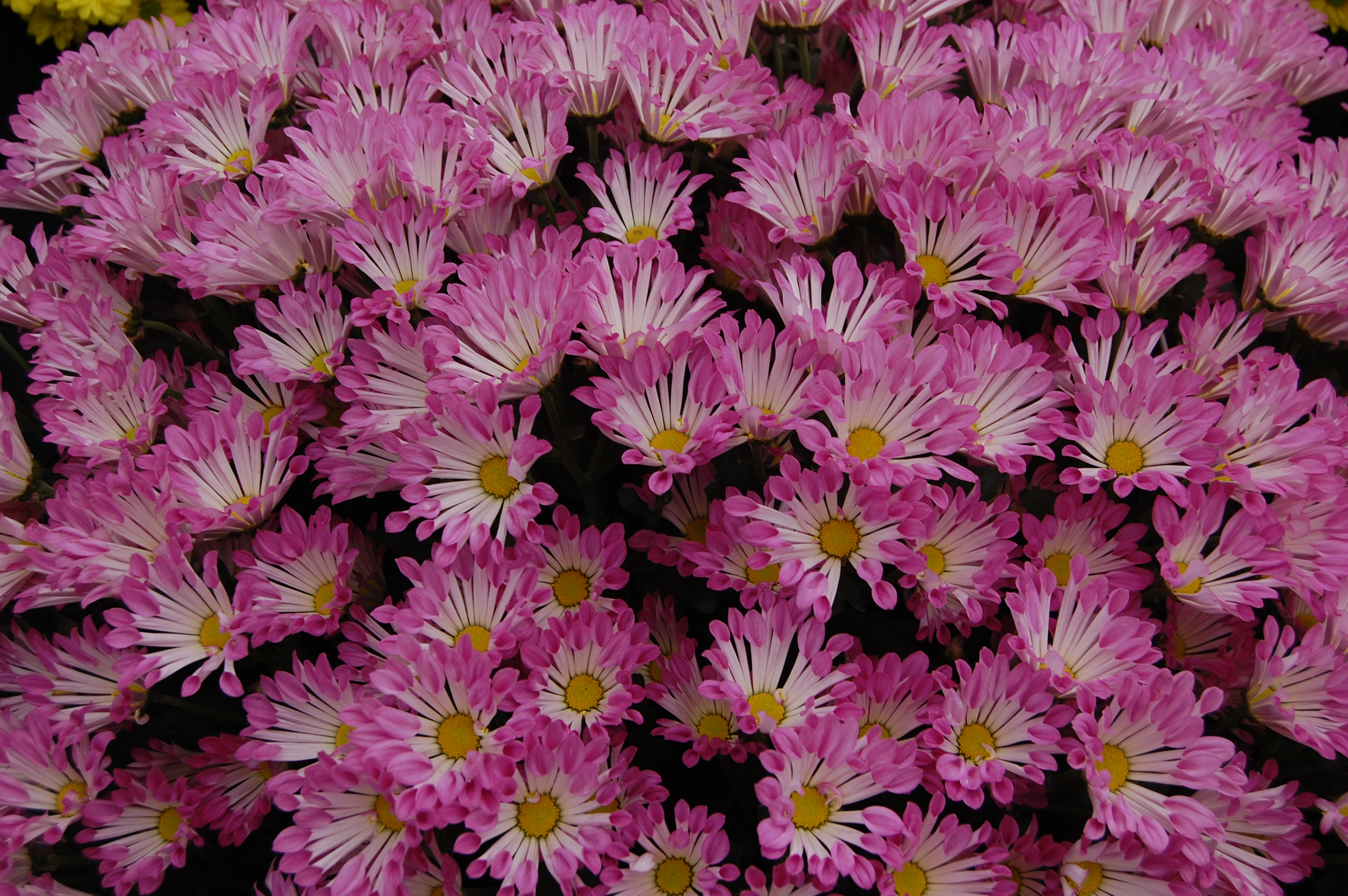 chrysanthemum  wikiwand, Natural flower