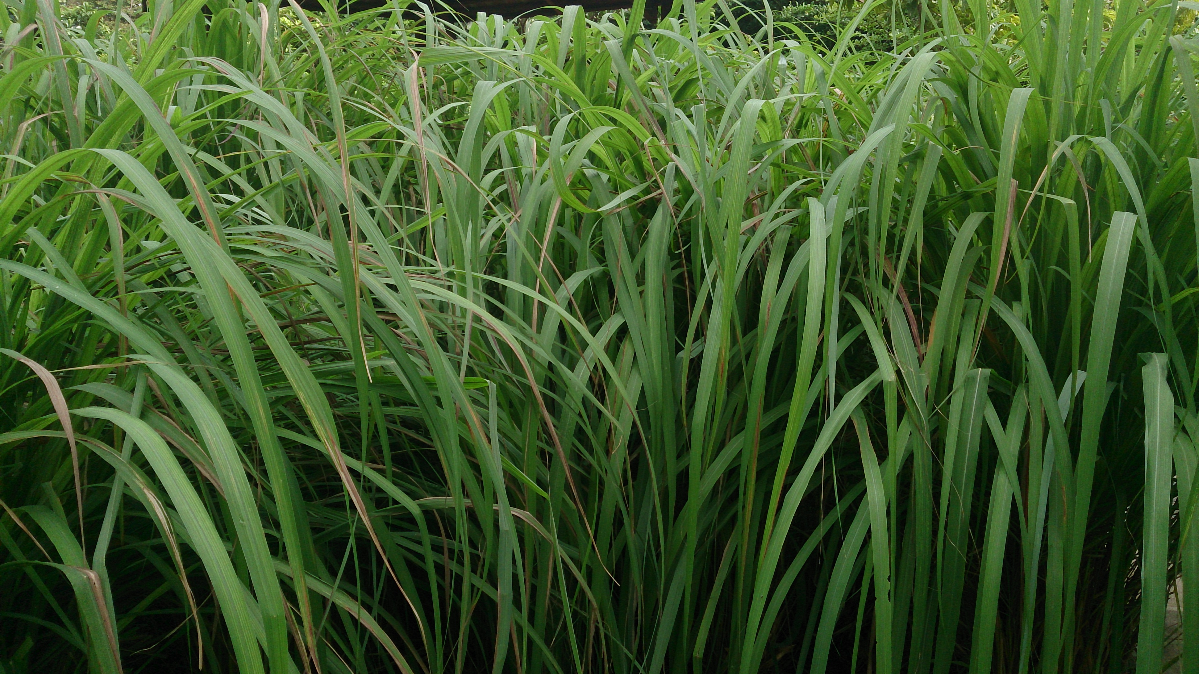 Is Lemongrass Essential Oil Good For Dogs