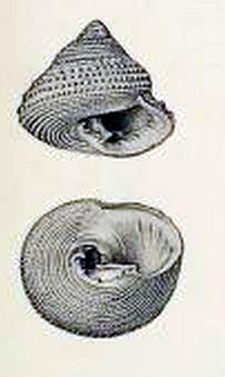 Clanculus mauritianus 001.jpg