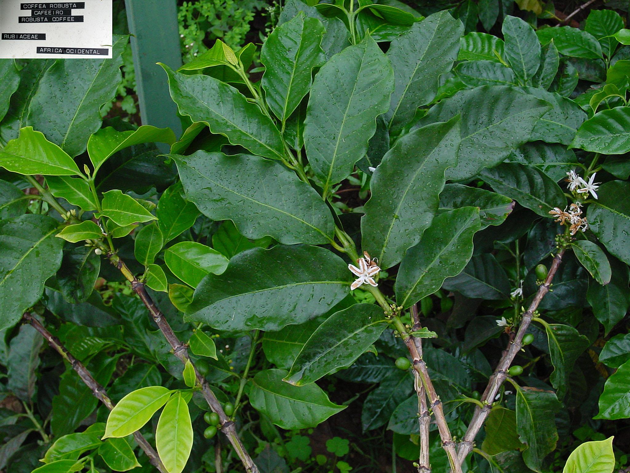 rask vektreduksjon Coffea canephora robusta