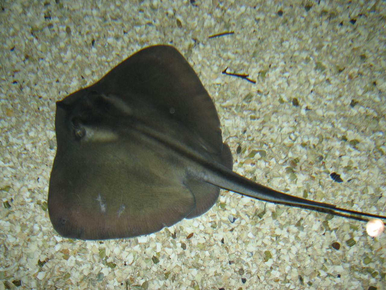 Dasyatis wikipedia for Is a stingray a fish