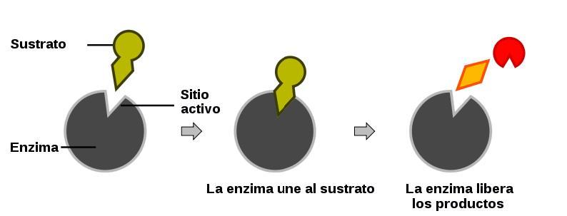 Complejo enzima sustrato wikipedia la enciclopedia libre for Cerradura sin llave