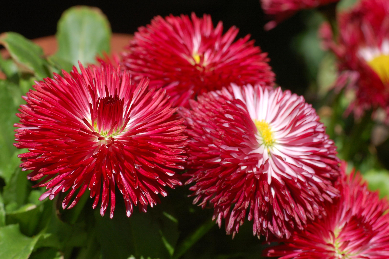 Садовые цветы на букву к и 16