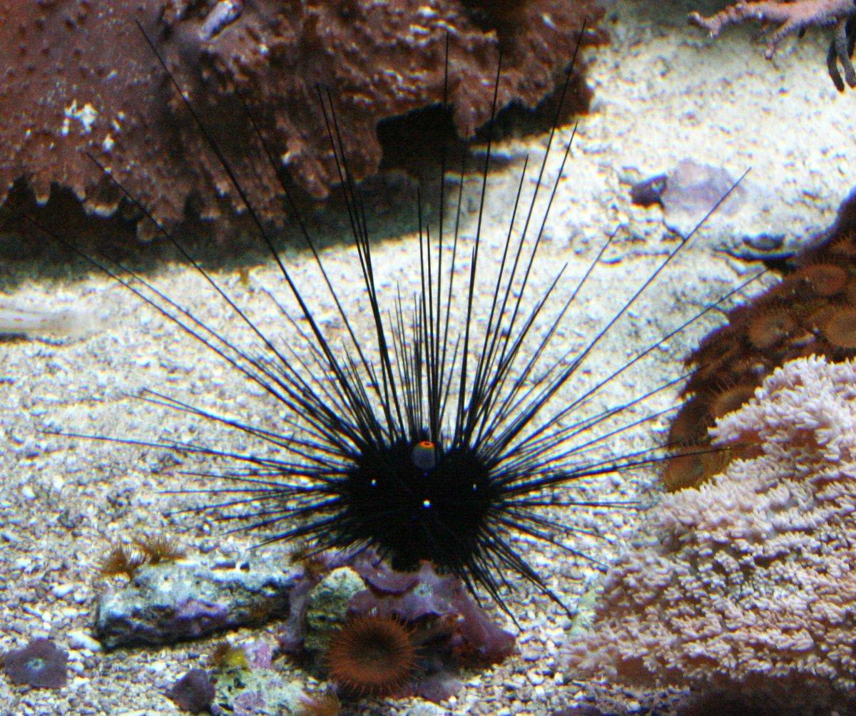 Species Biology Diadema setosum ...