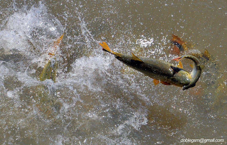 EL dorado: tigre del río - Off-topic - Taringa!