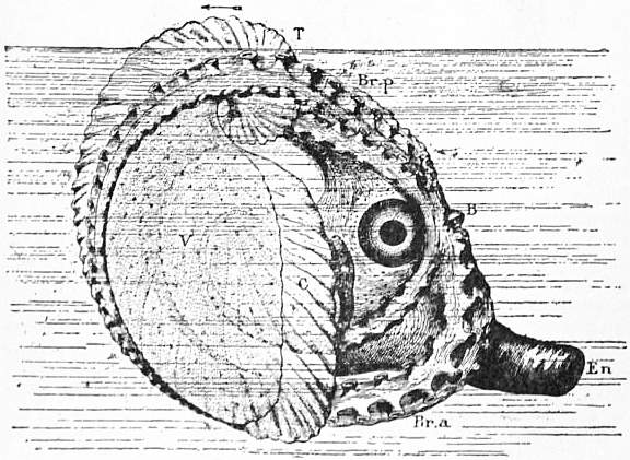 EB1911 Cephalopoda Fig. 22.—The Argonaut in life.jpg