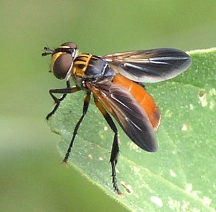 Feather-legged Fly (Trichopoda pennipes) 2.jpg