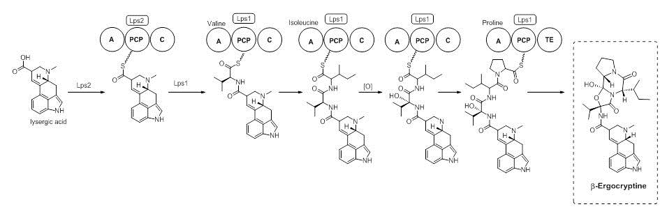 Figure 5 - part 5 in the biosynthesis of ergocryptine.jpg