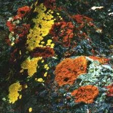 Image of Lichenology: http://dbpedia.org/resource/Lichenology