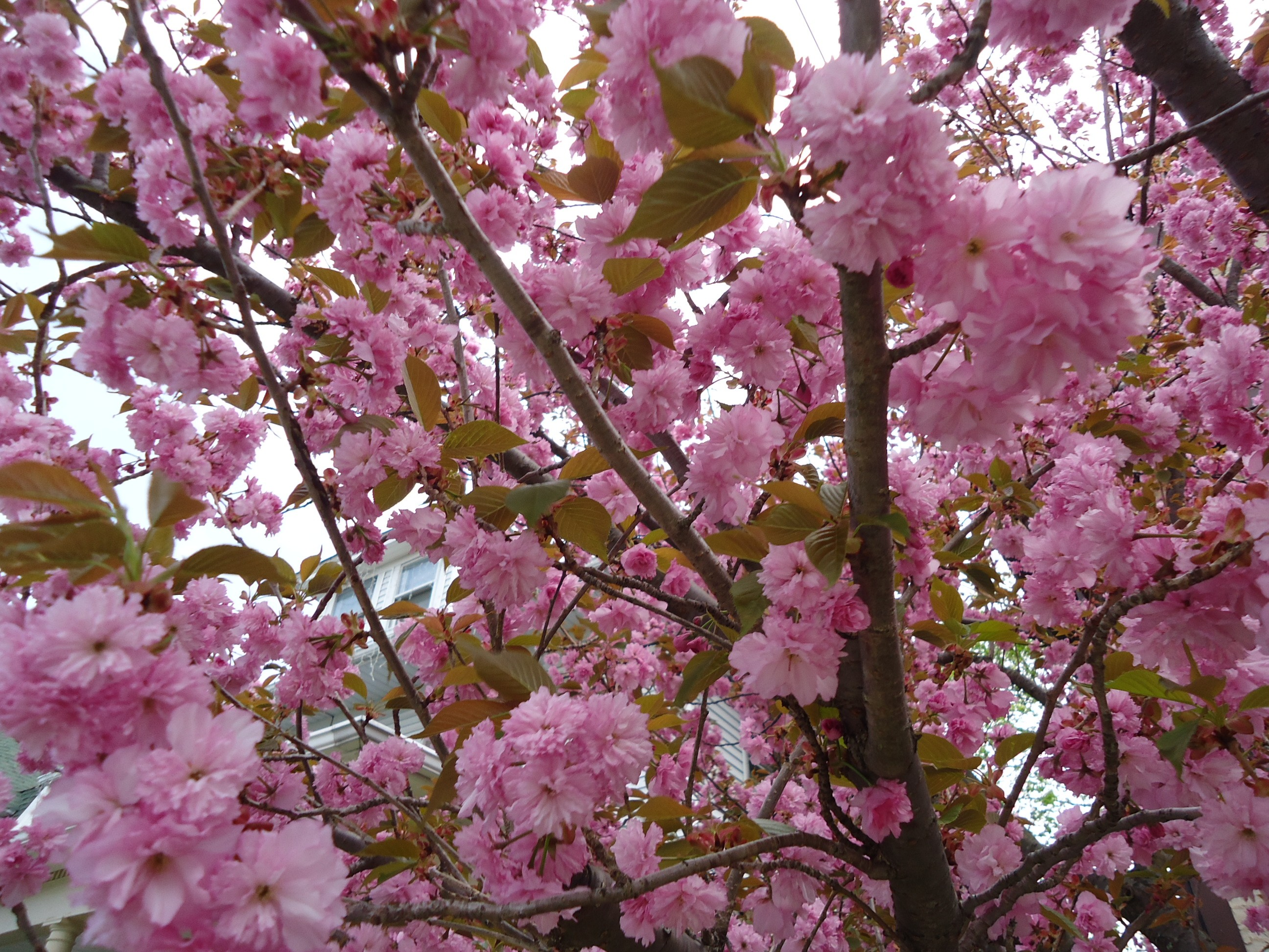 Fileflowering tree pink colors and branches in new jerseyg fileflowering tree pink colors and branches in new jerseyg mightylinksfo