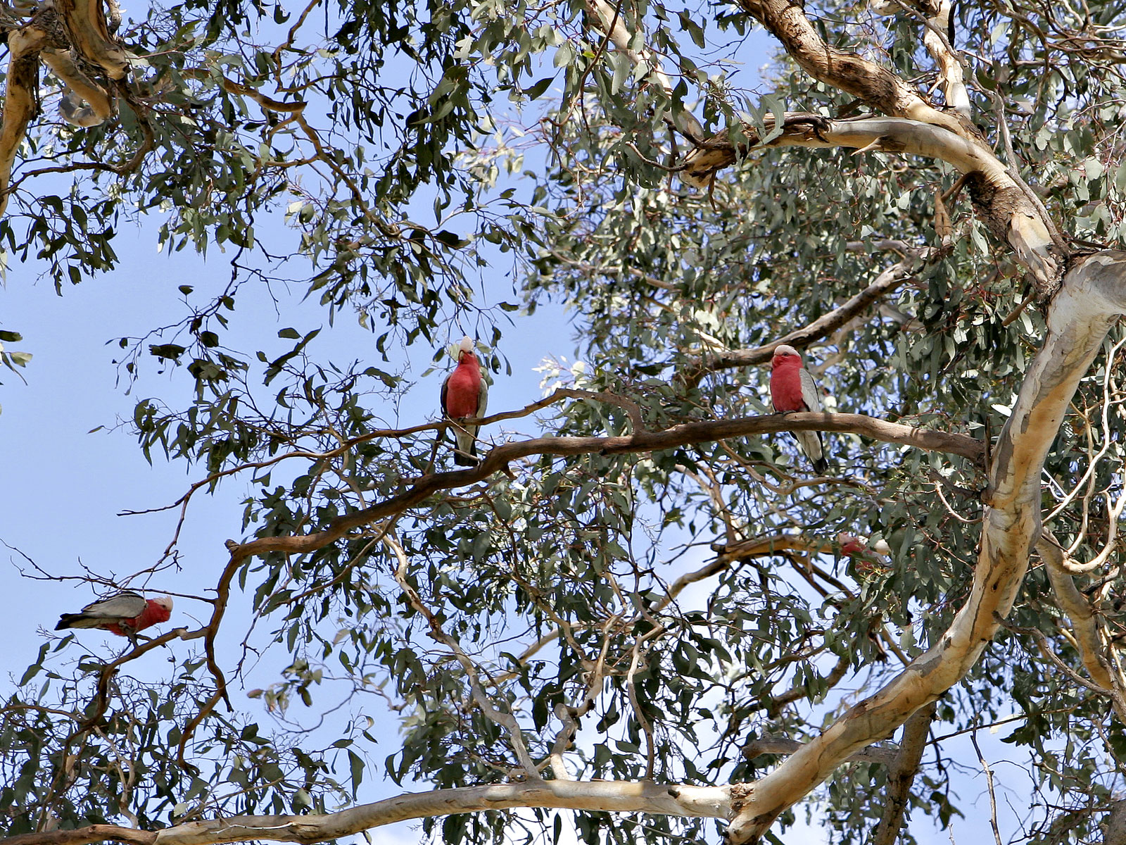 file galahs in eucalyptus wikimedia commons. Black Bedroom Furniture Sets. Home Design Ideas