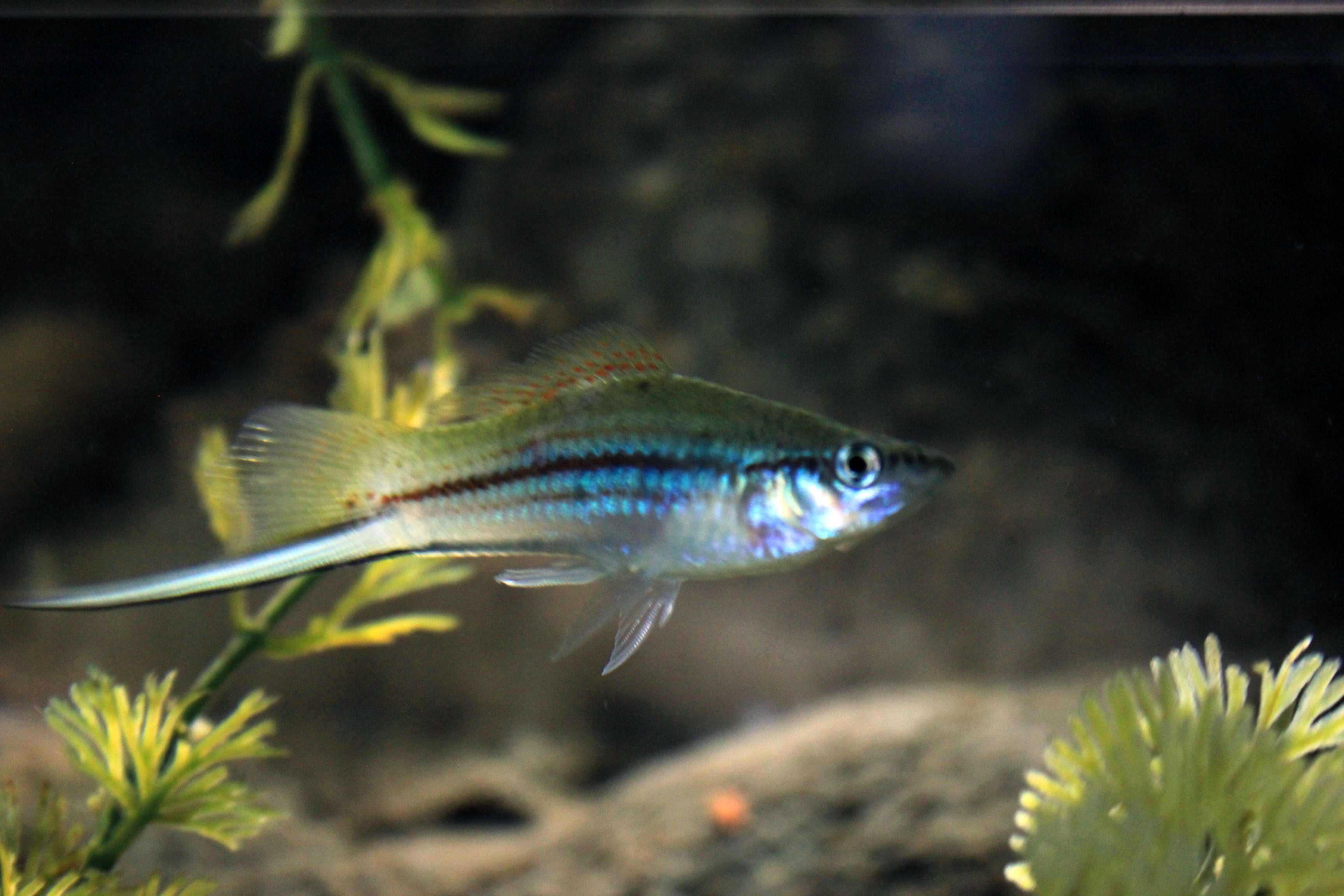 Freshwater fish - File Gfp A Freshwater Fish With Along Tail