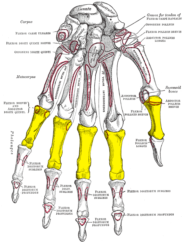 Description Gray219 - Proximal phalanges of the hand.png