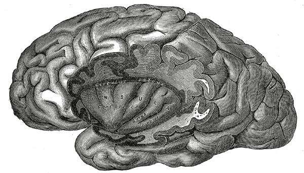 Großhirnrinde – Wikipedia