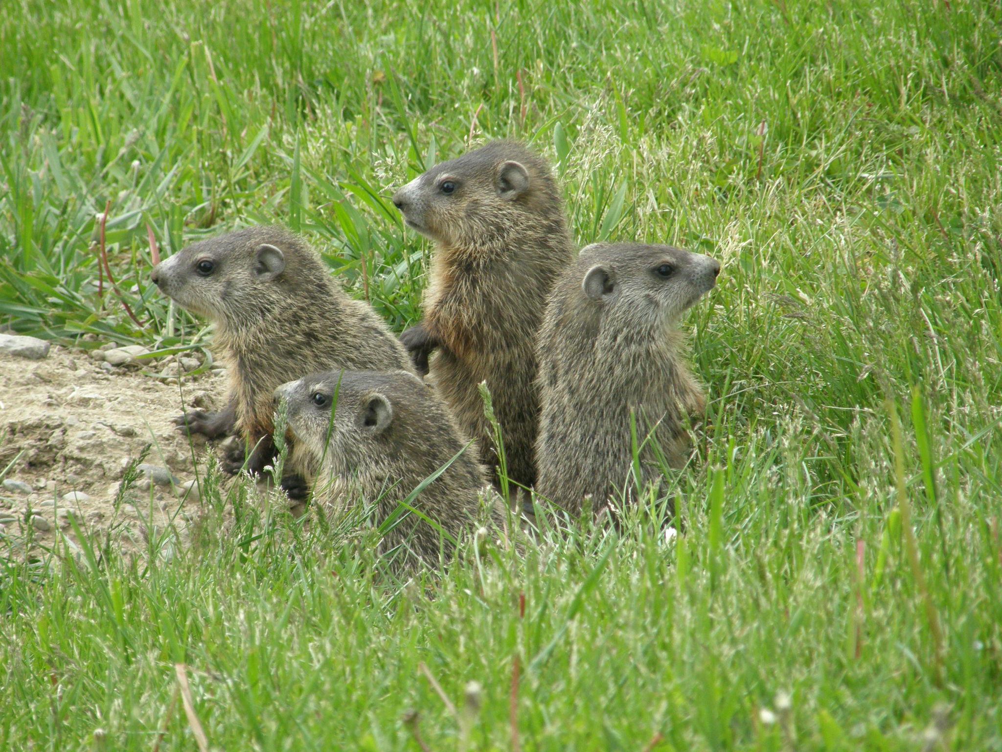 file groundhogs jpg wikimedia commons