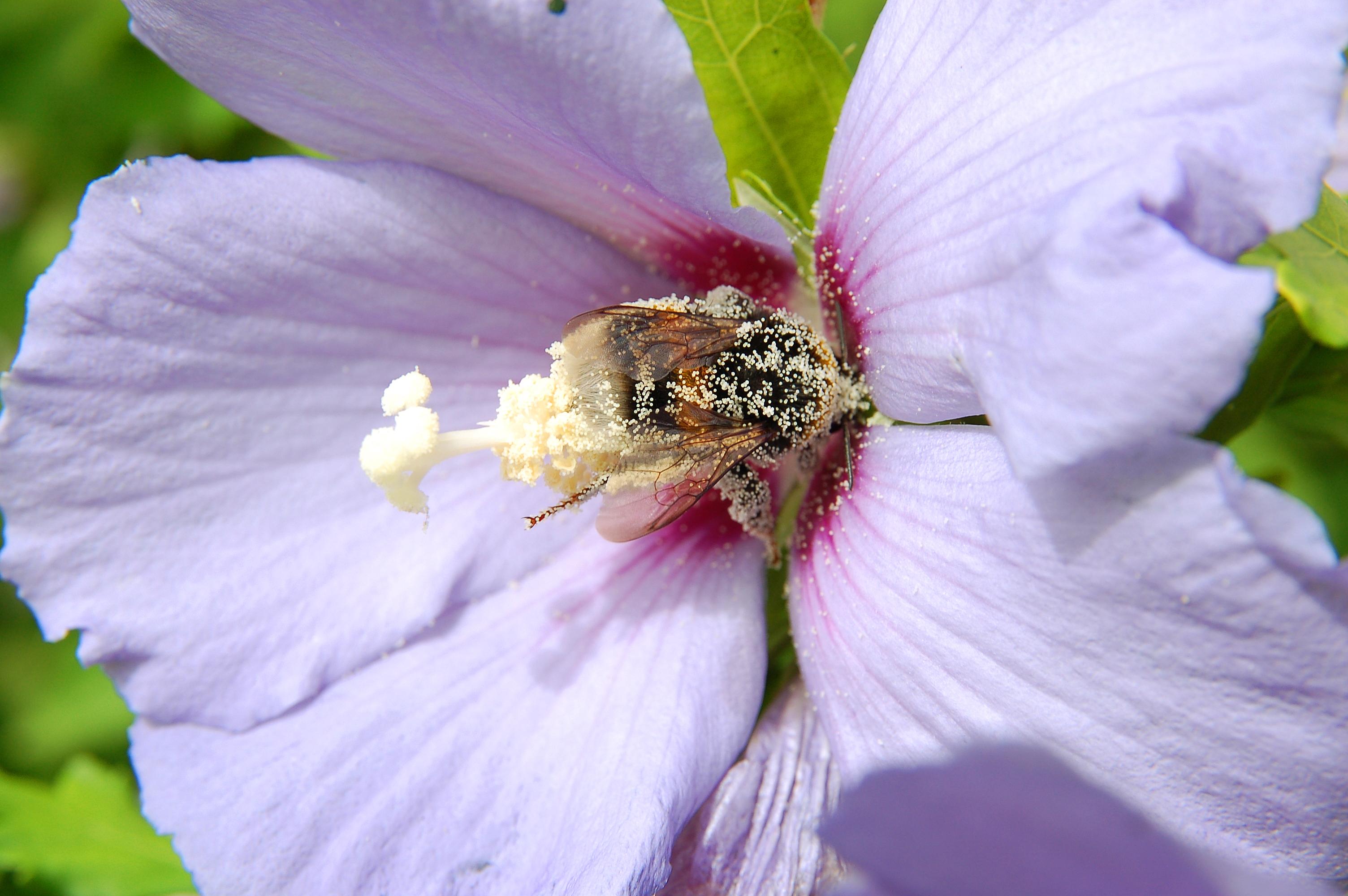 Hibiscus Bumblebee
