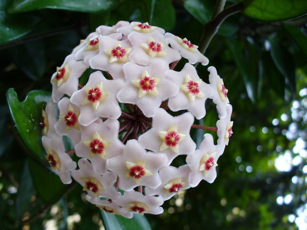 Fiori Hoya.Hoya Carnosa Wikispecies