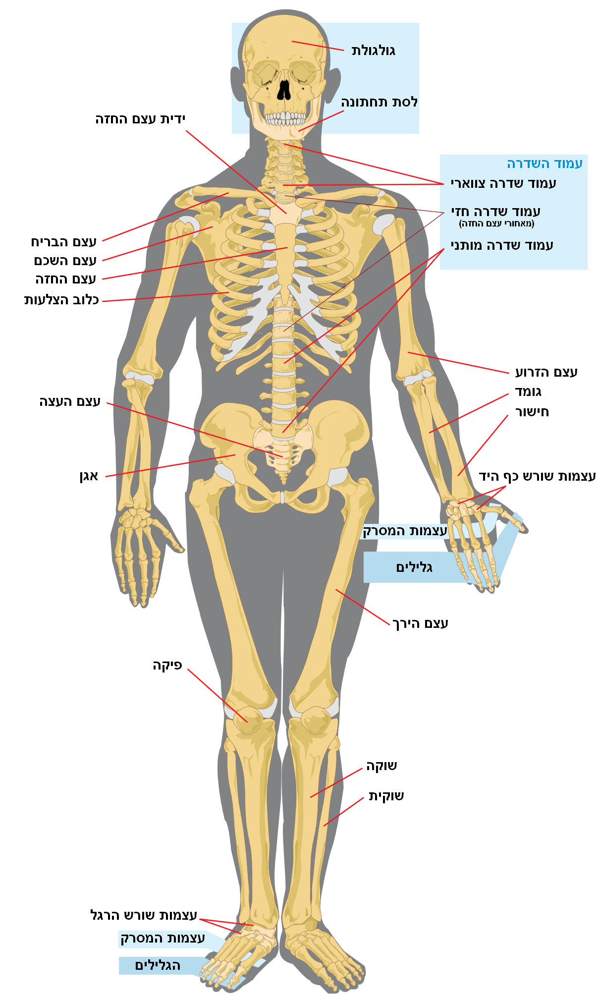 File:Human skeleton front.heb.PNG - Wikimedia Commons