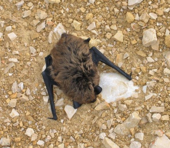 The average litter size of a Savi's pipistrelle is 2