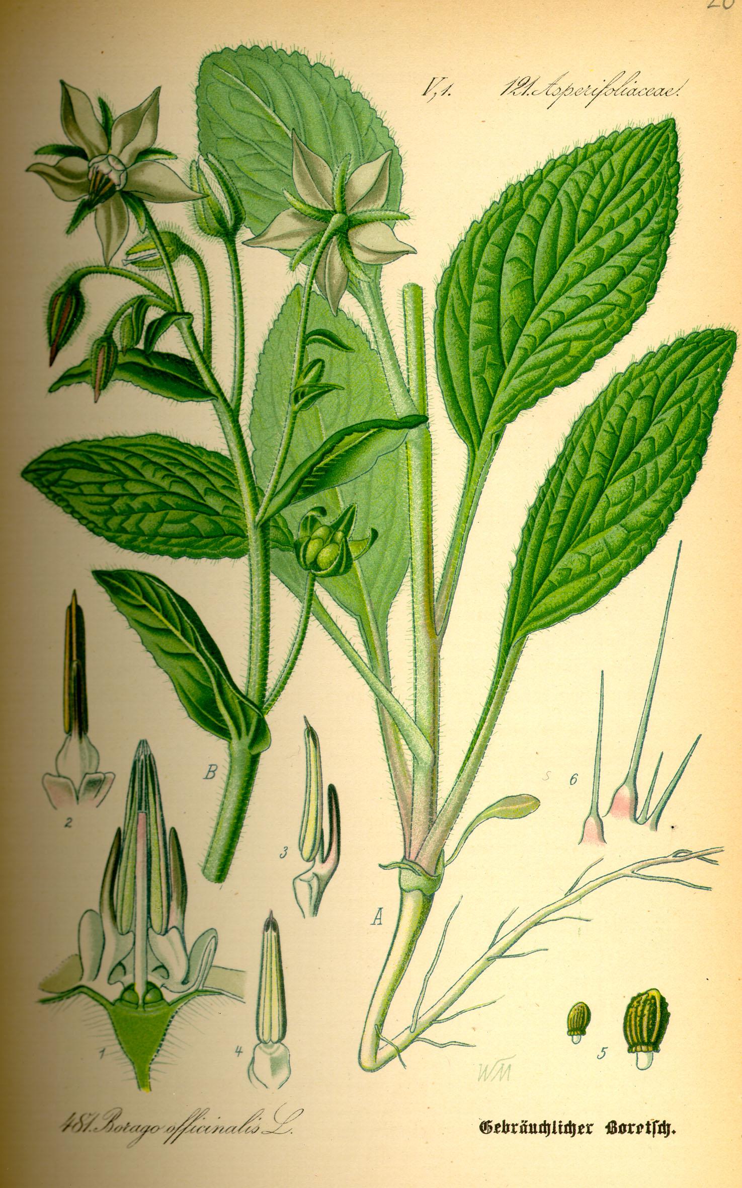 Depiction of Borago officinalis